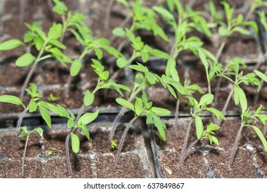 plantation of tomatoes