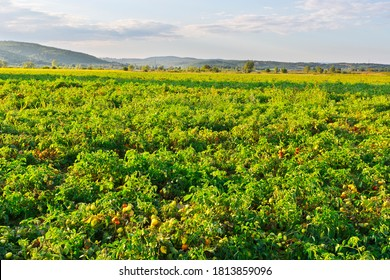 Plantation of tomatoes in Italy. Tomato not ready to harvest in Tuscany. Young green tomato in organic farm