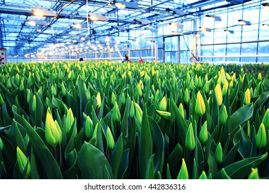 Plantation of tulips in a greenhouse Agribusiness