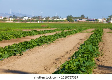 Plantation of watermelon near Larnaca in Cyprus