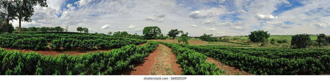 Plantation - Young coffee plantation skyline landscape
