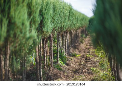 plantation of young conifers in greenhouse with a lot of plants