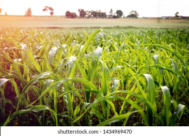 Plantation of young corn. A cultivated field with freshly planted maize. The concept of harvesting and harvesting corn.