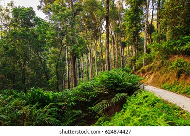Plantations of cardamom in the highlands, Kerala state, South India.