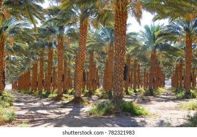 Plantations of date palms have an important place in advanced desert agriculture of the Middle East.