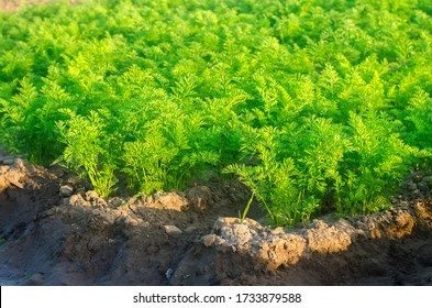 Plantations of young carrots grow in the field on a sunny day. Vegetable rows. Growing vegetables. Farm. Crops Fresh Green Plant. Agriculture, farming. Carrot. Close-up. Selective focus