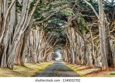 Planted in the 1930s, A tunnel of Monterey cypress trees can be found at California's Point Reyes National Seashore.