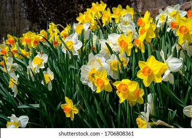Planted in the fall, these daffodils are blooming in early spring. They are white and yellow in color