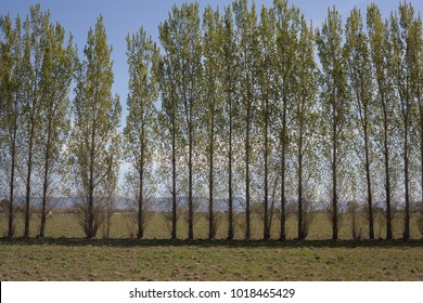 Planted as a windbreak in flat countryside, this row of trees is spring green