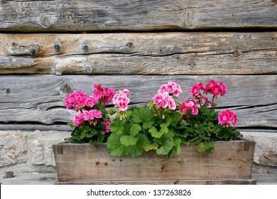 Planter box with geraniums