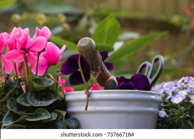 Planting beautiful pink cyclamen. Close up: flower from garden center, garden tools and blue flower pot. Cyclamen is not afraid of cold weather in autumn and spring. Concept: gardening & English hobby