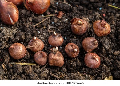 planting bulbous crocuses in the ground in autumn