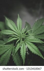 Planting cannabis. Home Grow legal Recreational weed. Cannabis business. Marijuana flower Indoor growing. Northern light strain. Marijuana grow operation. Vertical.