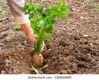 Planting of celery. Visible womans hand.