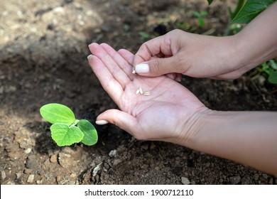 Anpflanzung von Gurken Samen im Boden im Garten. Gesundes vegetarisches Essen.