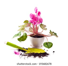 Planting cyclamen flowers in the pot on white background