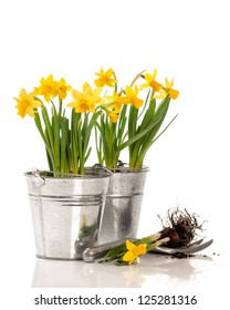 Planting daffodil bulbs in containers on a white background