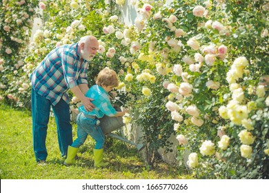 Planting flowers. Grandfather and grandson in beautiful garden. Gardener cutting flowers in his garden. Dad teaching little son care plants