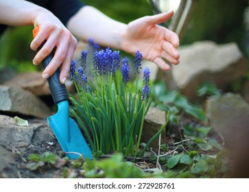 Planting flowers, spring gardening.  Blue hyacinth flowers bloom in spring spot of gardening