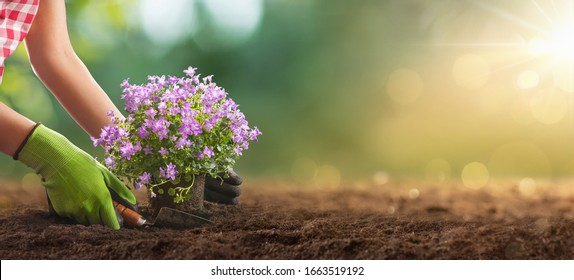 Planting Flowers In Sunny Garden. Spring Gardening Works Concept - Shutterstock ID 1663519192