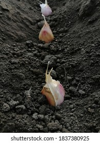 Planting garlic in the garden. A clove of garlic is planted in a hole in the ground. Black earth with small stones. Organic garlic. Gardening and vegetable garden. Vertical photo, macro photo