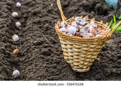 Planting garlic in the vegetable garden. Autumn gardening.