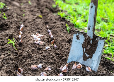 Planting garlic in the vegetable garden. Spring gardening.