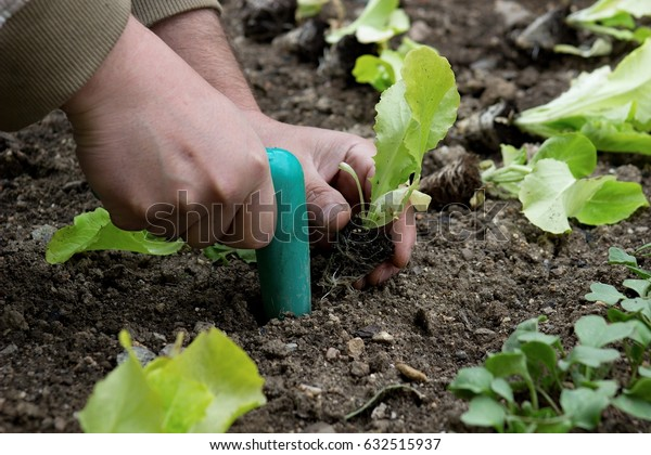 planting of green lettuce in the  flower bed