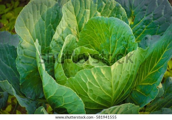 Planting, growing and harvesting cabbage