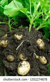 Planting  and harvesting Potatoes form an Allotment.