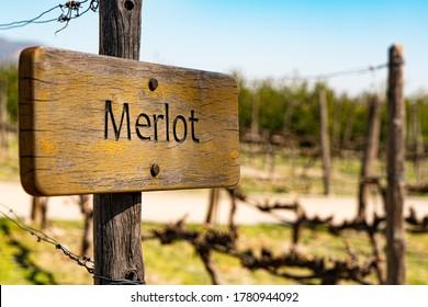 planting merlot grape in winery