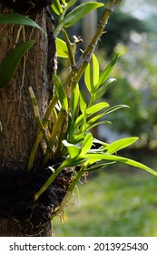 Planting method of orchid by attached on treetrunk