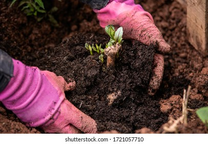 planting out sprouting dahlia tuber with shoots in spring flower garden