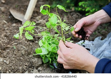 the planting of plants in the garden on the field