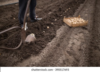 planting potatoes with manual plow on a field