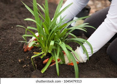 Planting a Potted Plant into the Soil