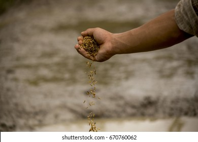 planting rice Farmer  will be  sowing  the seeds  of rice  agriculture