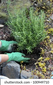 Planting a Rosemary bush _putting earth around base