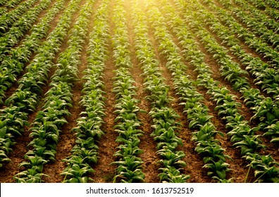 Planting a row of tobacco plants in a farmer's field