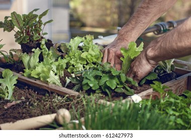 Planting salad an herbs in high bed on balcony