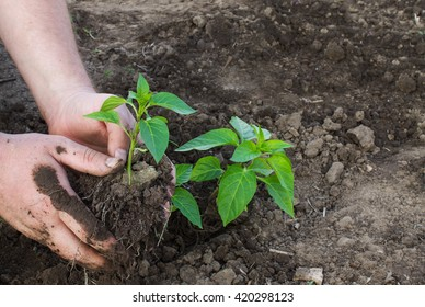 planting of seedlings green pepper closeup on a background of the ground. candid photos.shallow depth of field