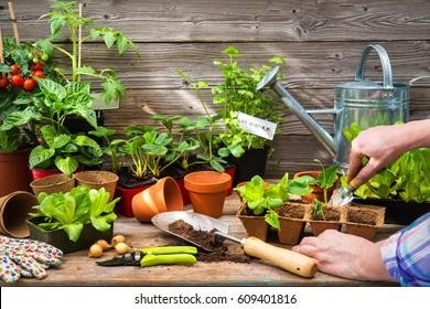 Planting seedlings in greenhouse in spring