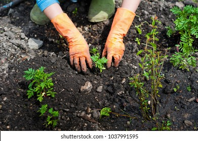 Planting seedlings in the open ground in early spring. A woman farmer is holding seedlings in her hands, bothering the ground, planting flowers and vegetables in the garden. Close up of farming, garde