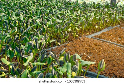 Planting sprout Sunflower seedling on nutrition soil in organic vegetable farm, the sprouts spreading to green young sunflower leaf, the orange mixed of coconut fiber, soil, sand, fertilizer