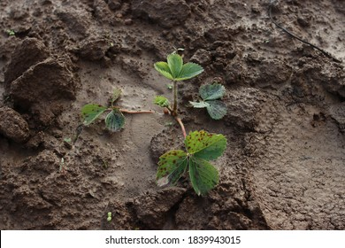 planting strawberries in the ground, seedling, leaves - Shutterstock ID 1839943015