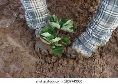 planting strawberries in the ground, seedling, leaves - Shutterstock ID 1839943036