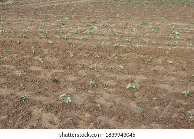 planting strawberries in the ground, seedling, leaves - Shutterstock ID 1839943045