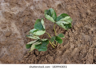 planting strawberries in the ground, seedling, leaves - Shutterstock ID 1839943051