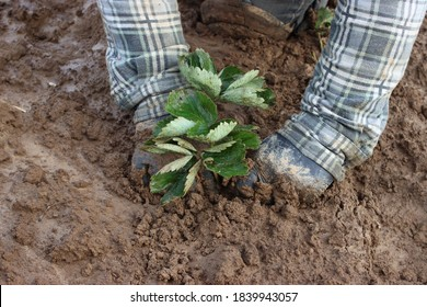 planting strawberries in the ground, seedling, leaves - Shutterstock ID 1839943057