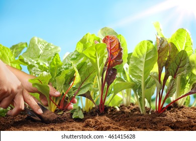Planting sugar beets in the field